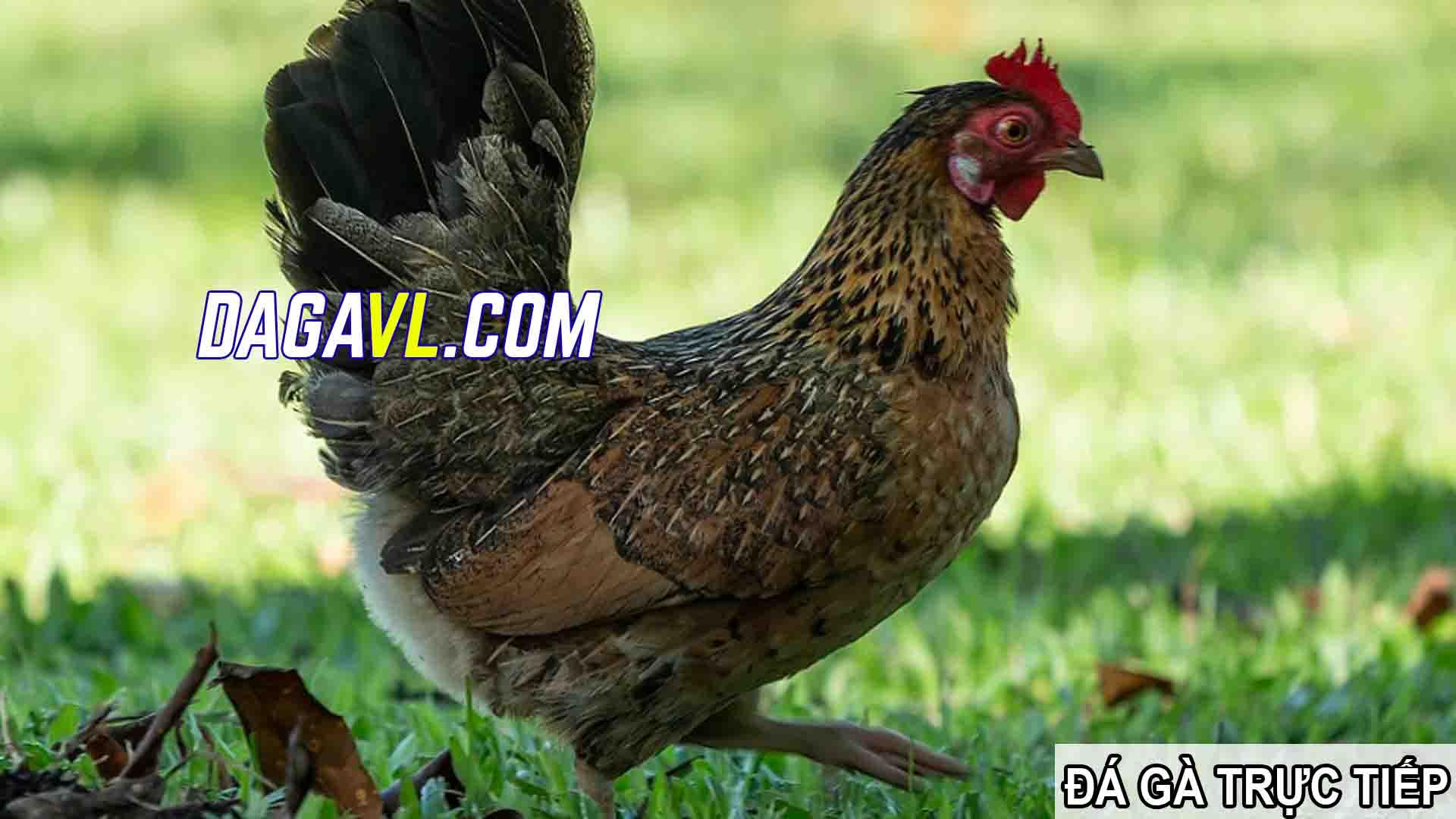 DAGAVL.COM - Đá gà trực tiếp - Cho gà ở gần gà mái, cách huấn luyện gà đá khỏe mạnh