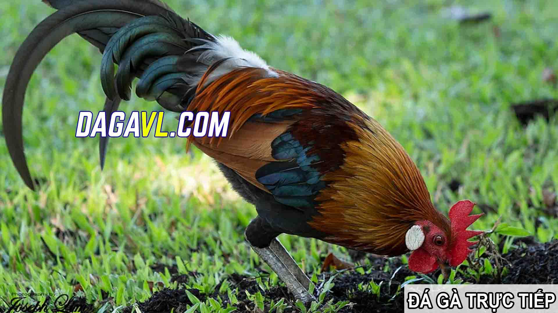 DAGAVL.COM - Đá gà trực tiếp -Gà chạy lồng, cách huấn luyện gà đá khỏe mạnh