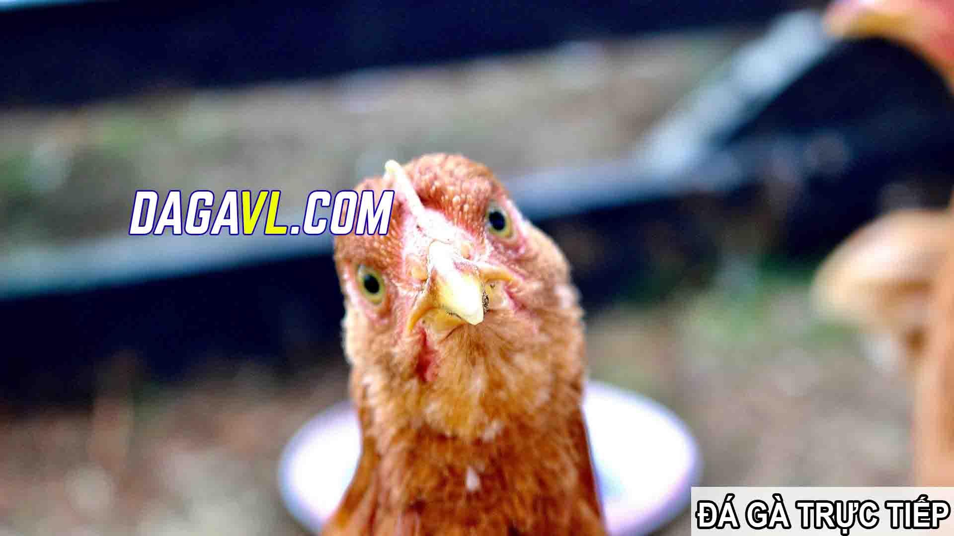 DAGAVL.COM - đá gà trực tiếp. Đá gà, bộ môn gây nghiện