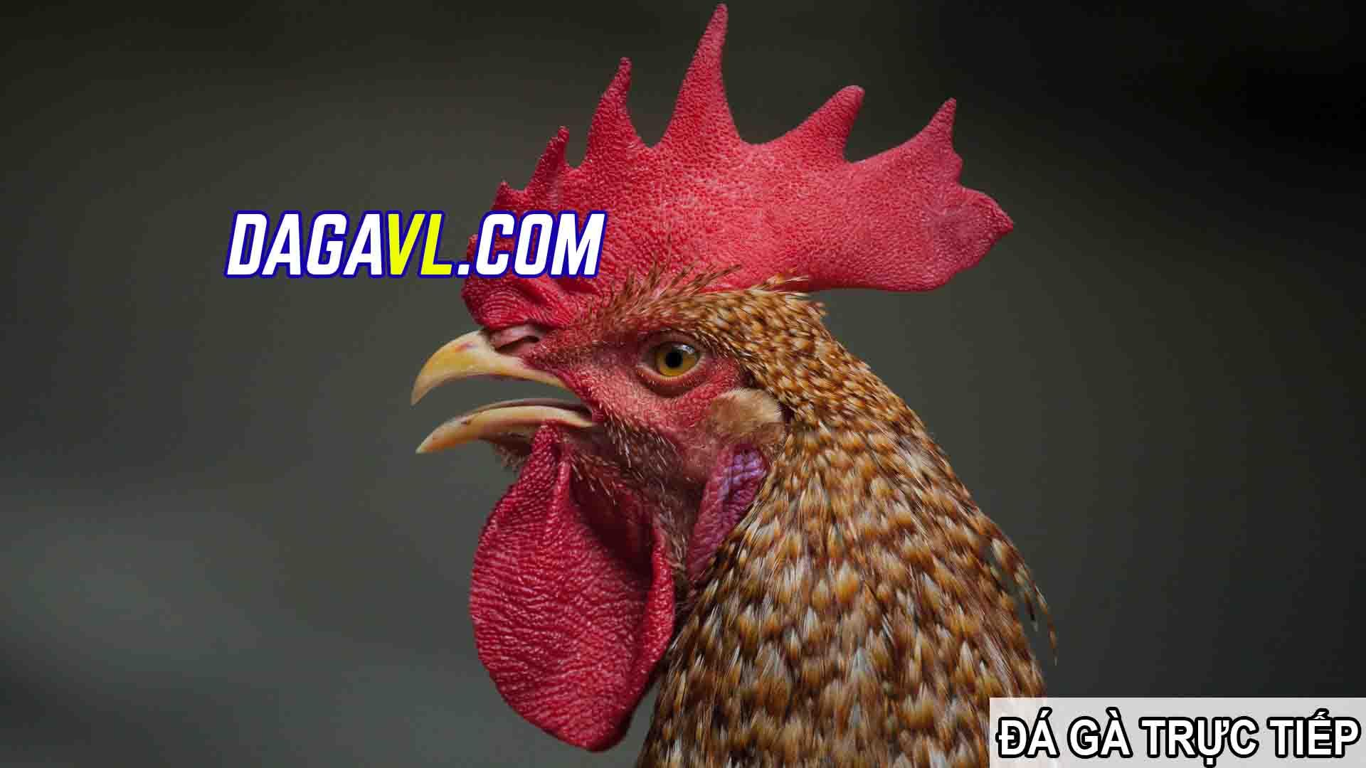 DAGAVL.COM - đá gà trực tiếp. Cách nuôi gà đá có lông tốt nhất