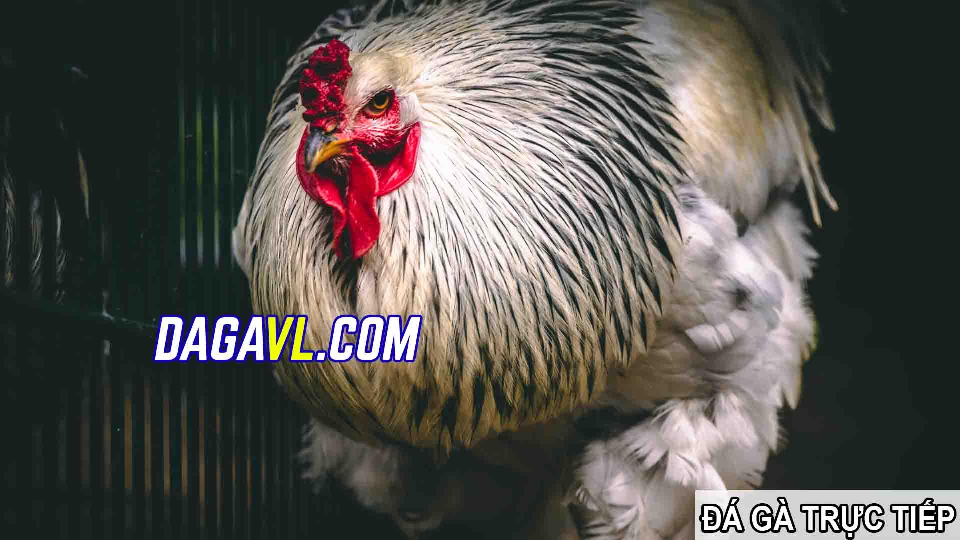 DAGAVL.COM - đá gà trực tiếp. Cách nuôi gà đá tốt nhất