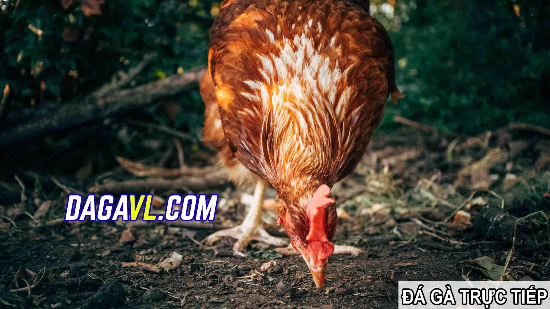 DAGAVL.COM - đá gà trực tiếp. Chú gà đá giá 2000 đô hay nhất