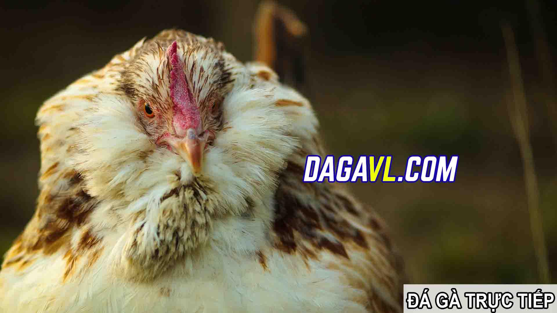 DAGAVL.COM - đá gà trực tiếp. Chú gà đá giá 2000 đô
