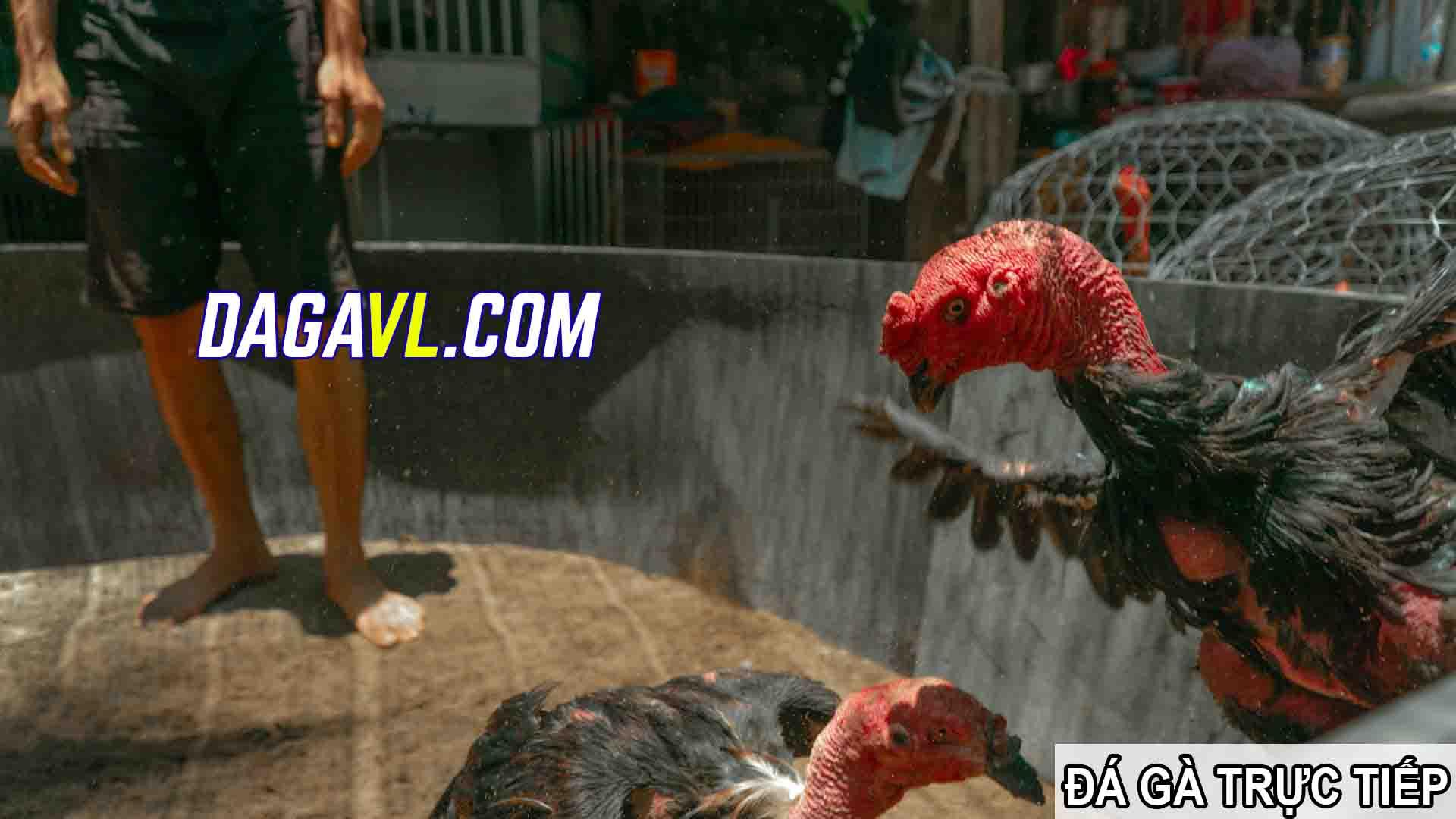 DAGAVL.COM - đá gà trực tiếp. Gà đá những hình ảnh đẹp nhất gà nòi