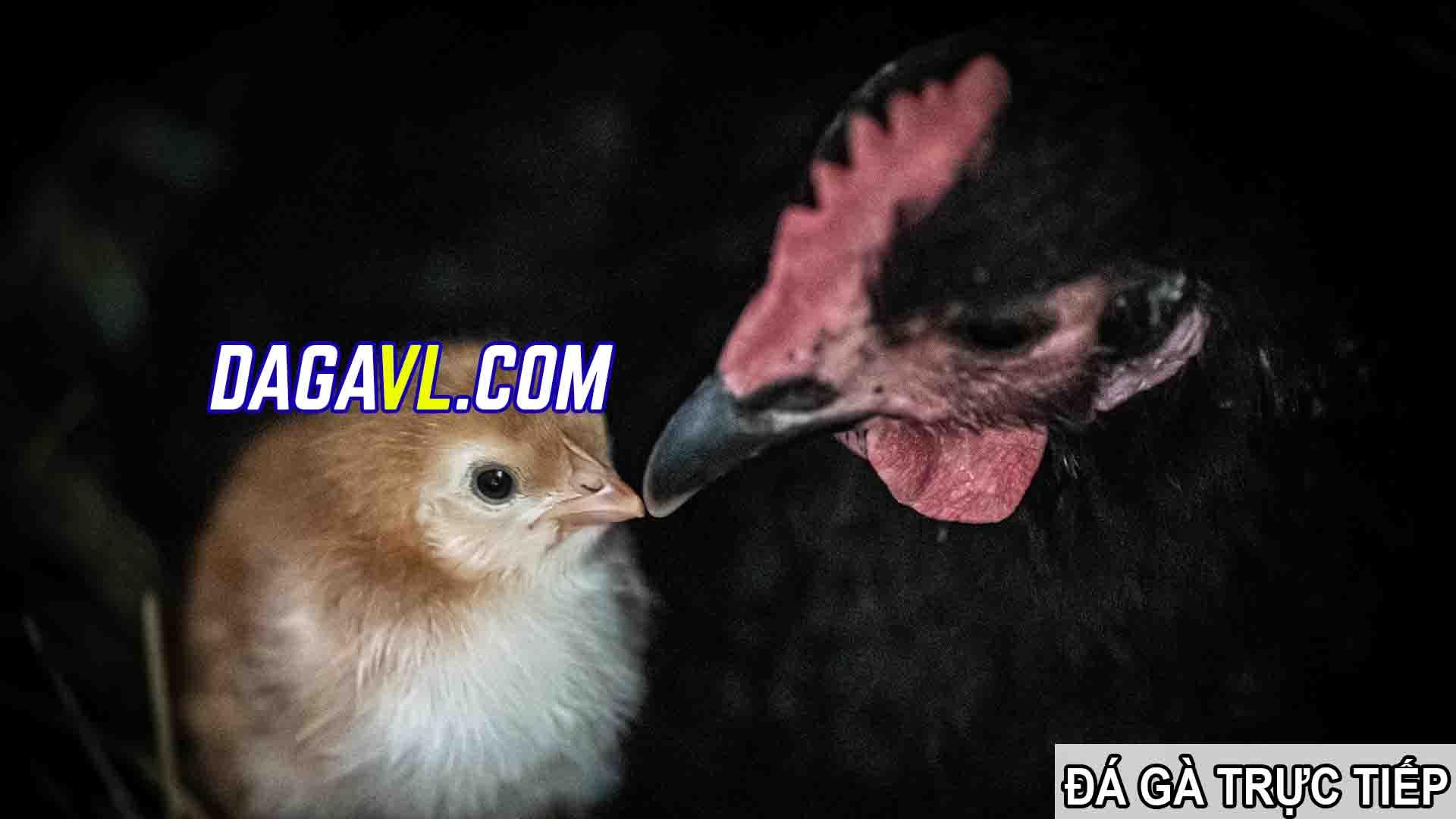 DAGAVL.COM - đá gà trực tiếp. Gà đá thay đổi màu theo mùa hay nhất
