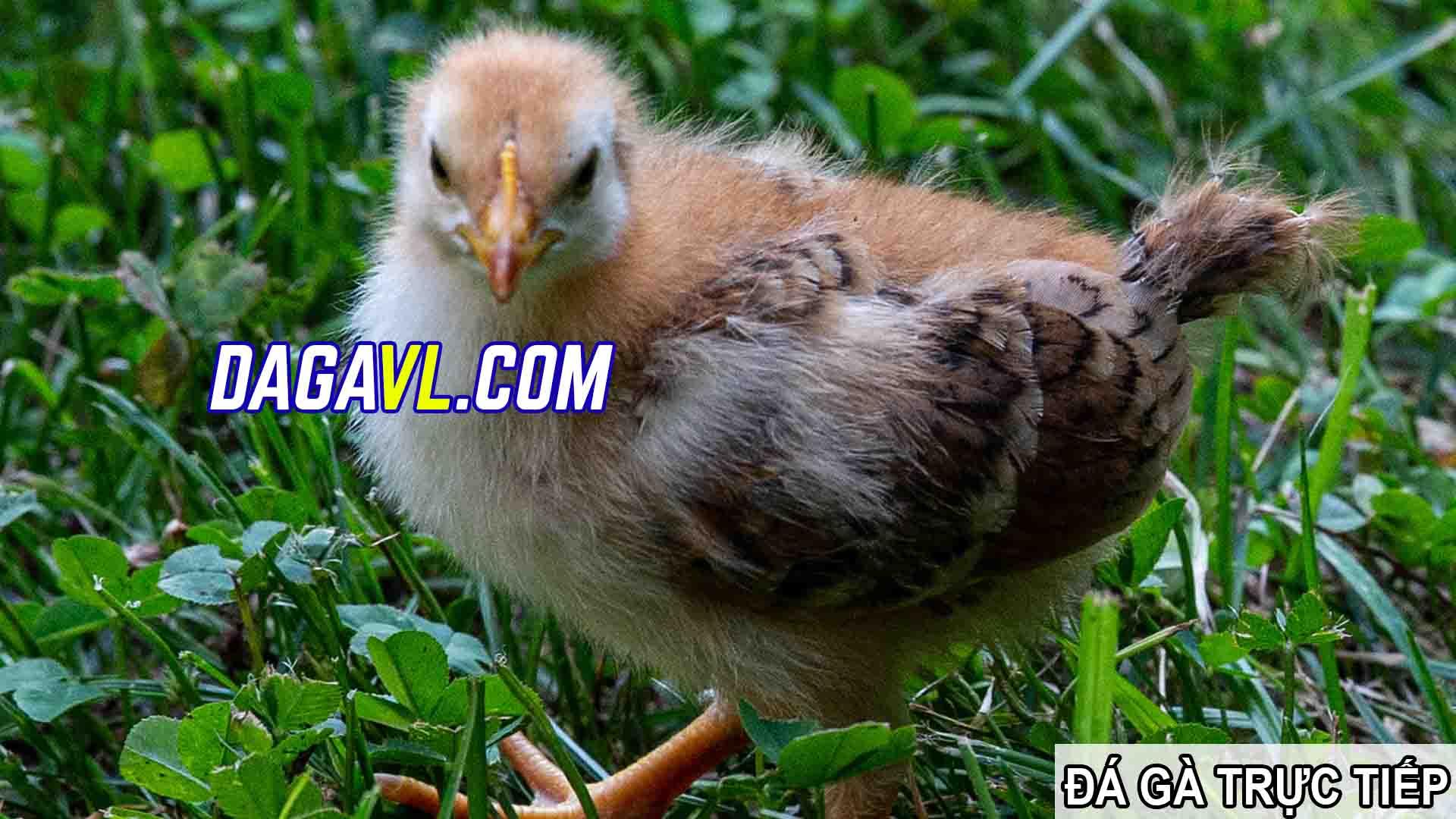 DAGAVL.COM - đá gà trực tiếp. Gà đá thay đổi màu theo mùa hay
