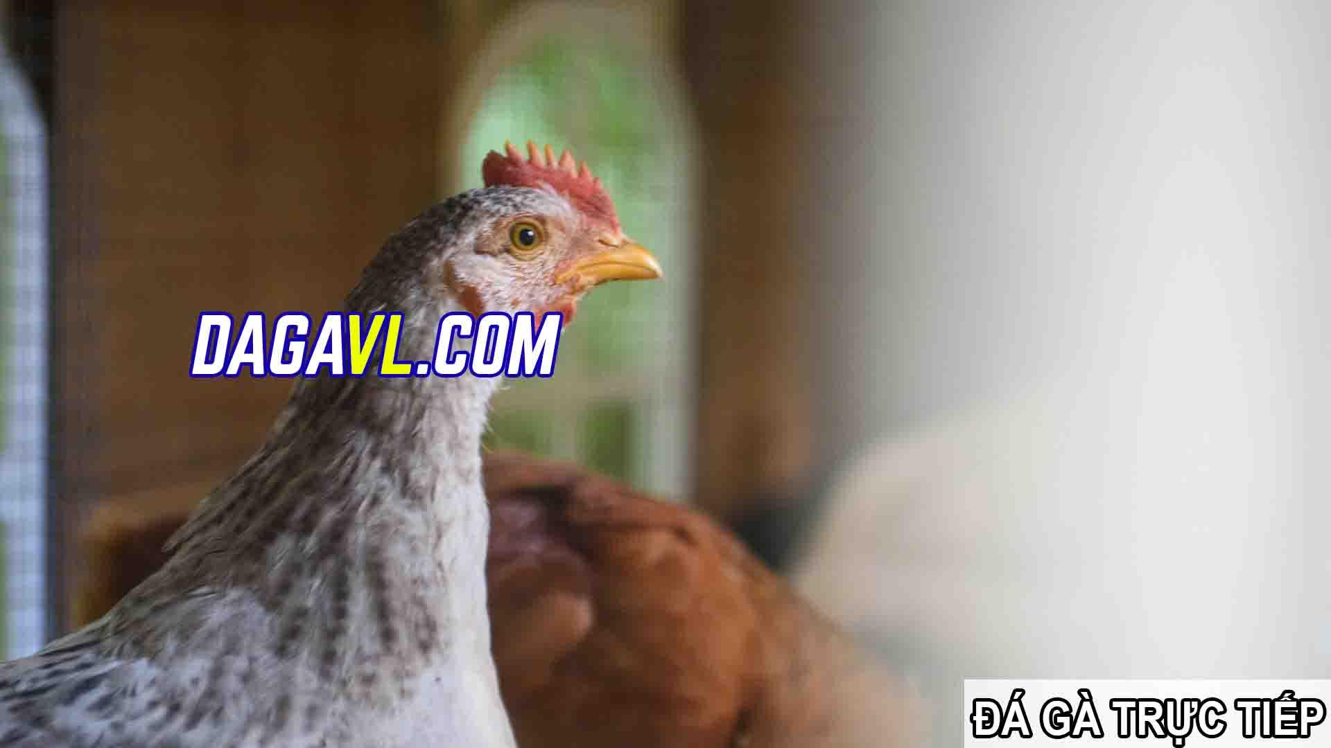 DAGAVL.COM - đá gà trực tiếp. SPAM bán gà đá trên Facebook hay nhất