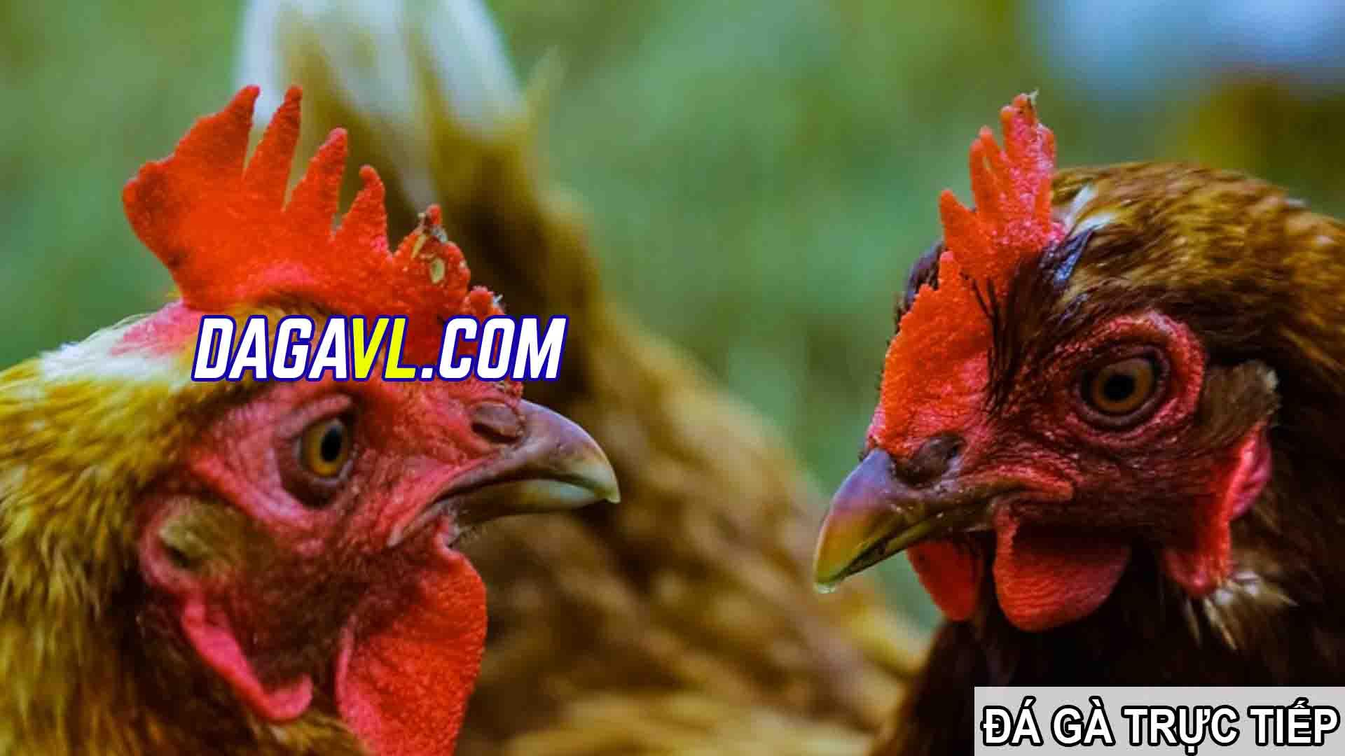 DAGAVL.COM - đá gà trực tiếp. SPAM bán gà đá trên Facebook hay