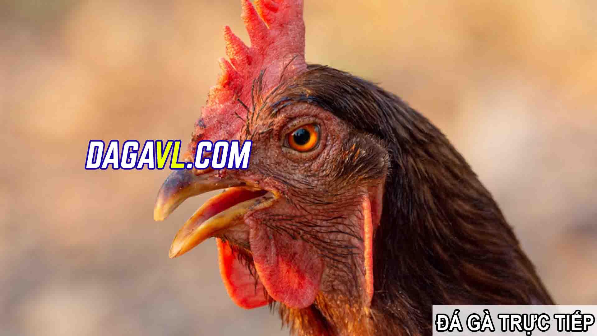 DAGAVL.COM - đá gà trực tiếp. SPAM bán gà đá trên Facebook