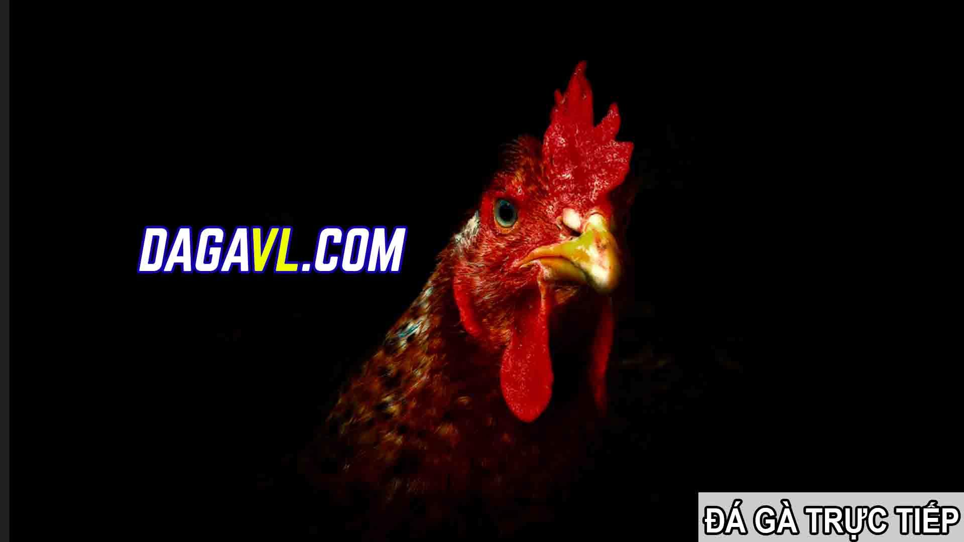 DAGAVL.COM - đá gà trực tiếp. Tác hại của việc nhổ lông gà đá (PHẦN 2)
