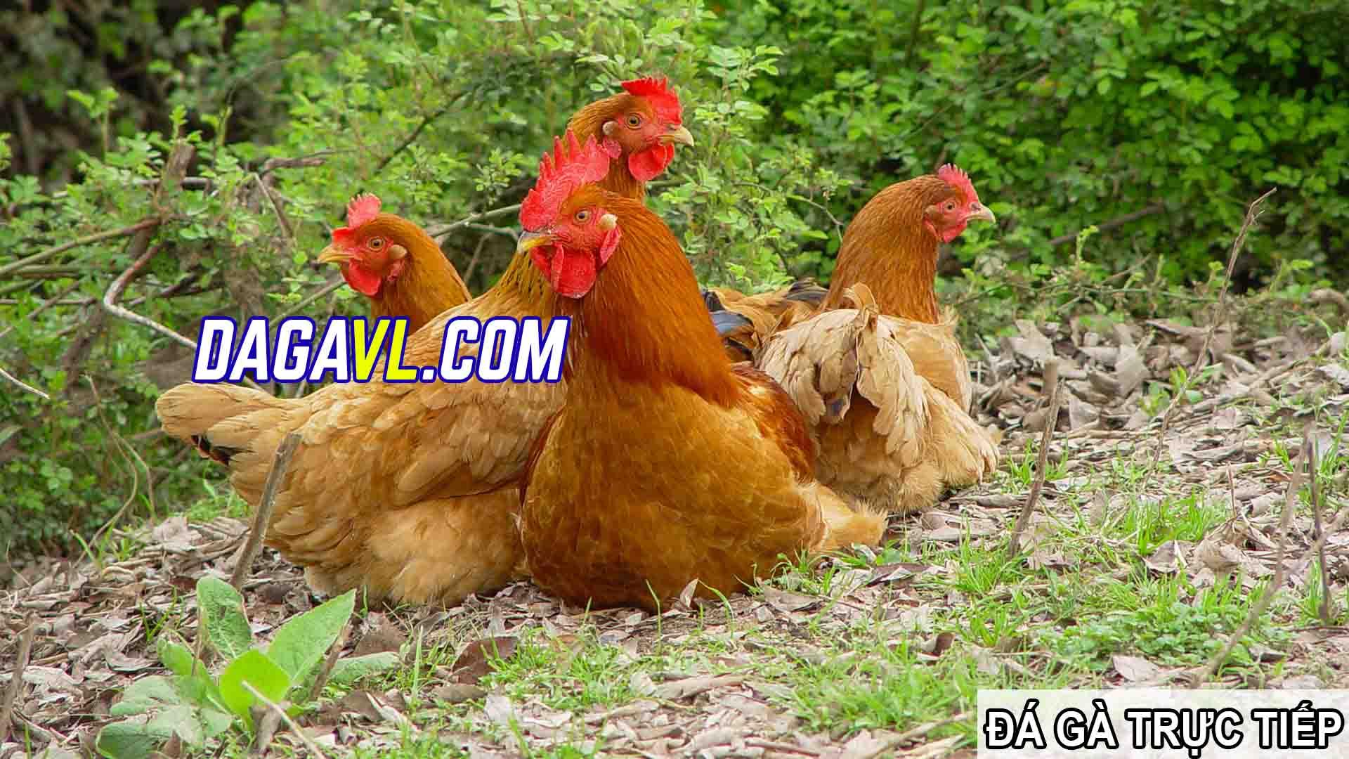 DAGAVL.COM - đá gà trực tiếp. Tác hại của việc nhổ lông gà đá hay (PHẦN 2)