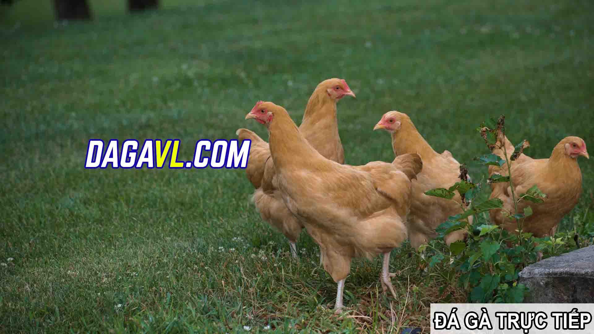 DAGAVL.COM - đá gà trực tiếp. Tác hại của việc nhổ lông gà đá hay nhất (PHẦN 2)