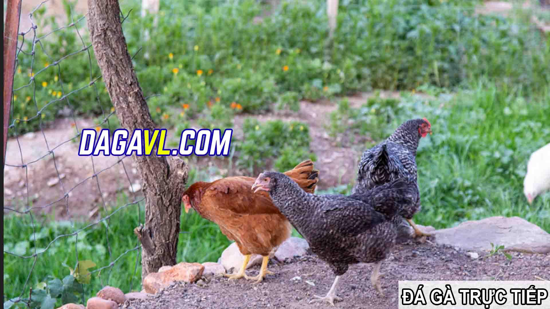 DAGAVL.COM - đá gà trực tiếp. Tác hại của việc nhổ lông gà đá hay nhất(PHẦN 1)