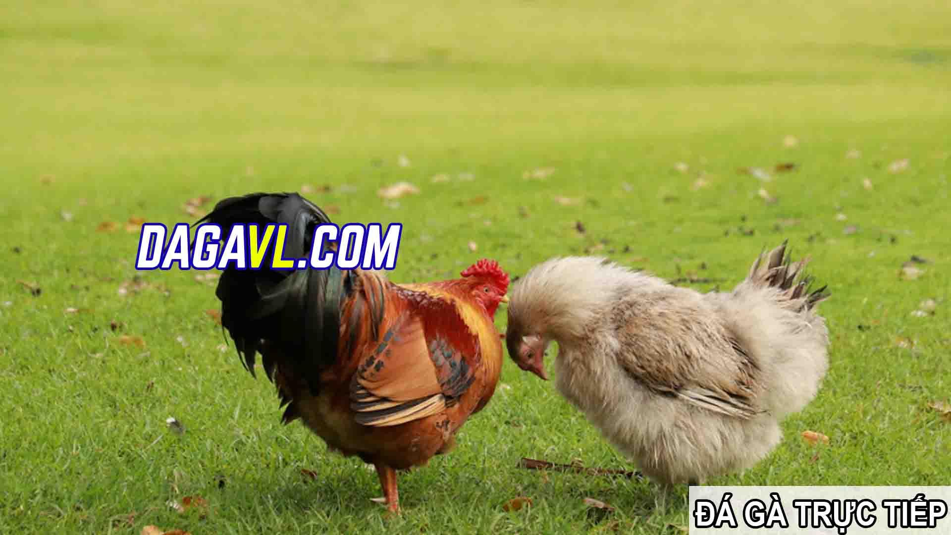 DAGAVL.COM - đá gà trực tiếp. Tác hại của việc nhổ lông gà đá(PHẦN 1)