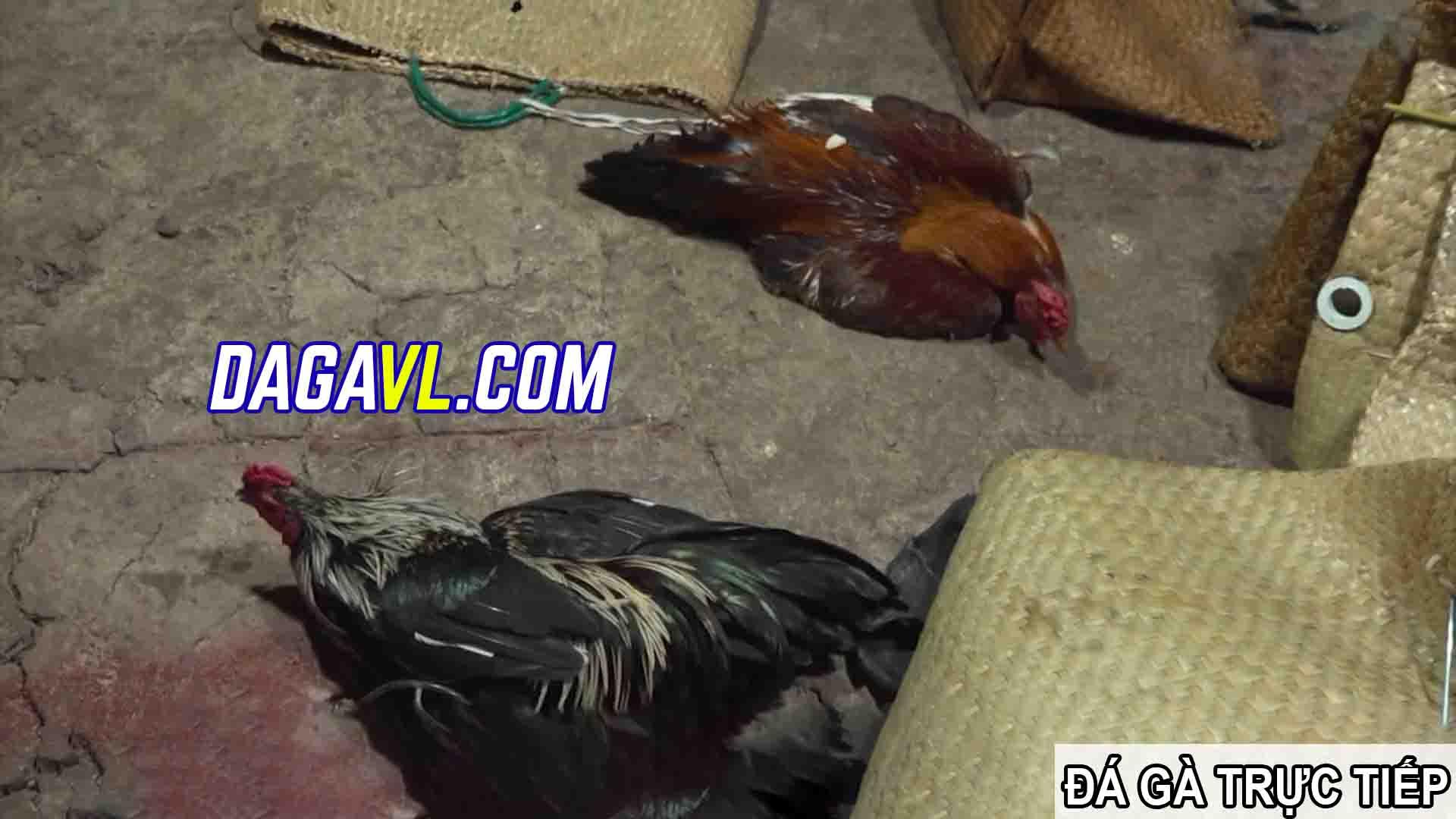 DAGAVL.COM - đá gà trực tiếp. Tang vật bắt 31 đối tượng đá gà ăn tiền tại Tân Lập