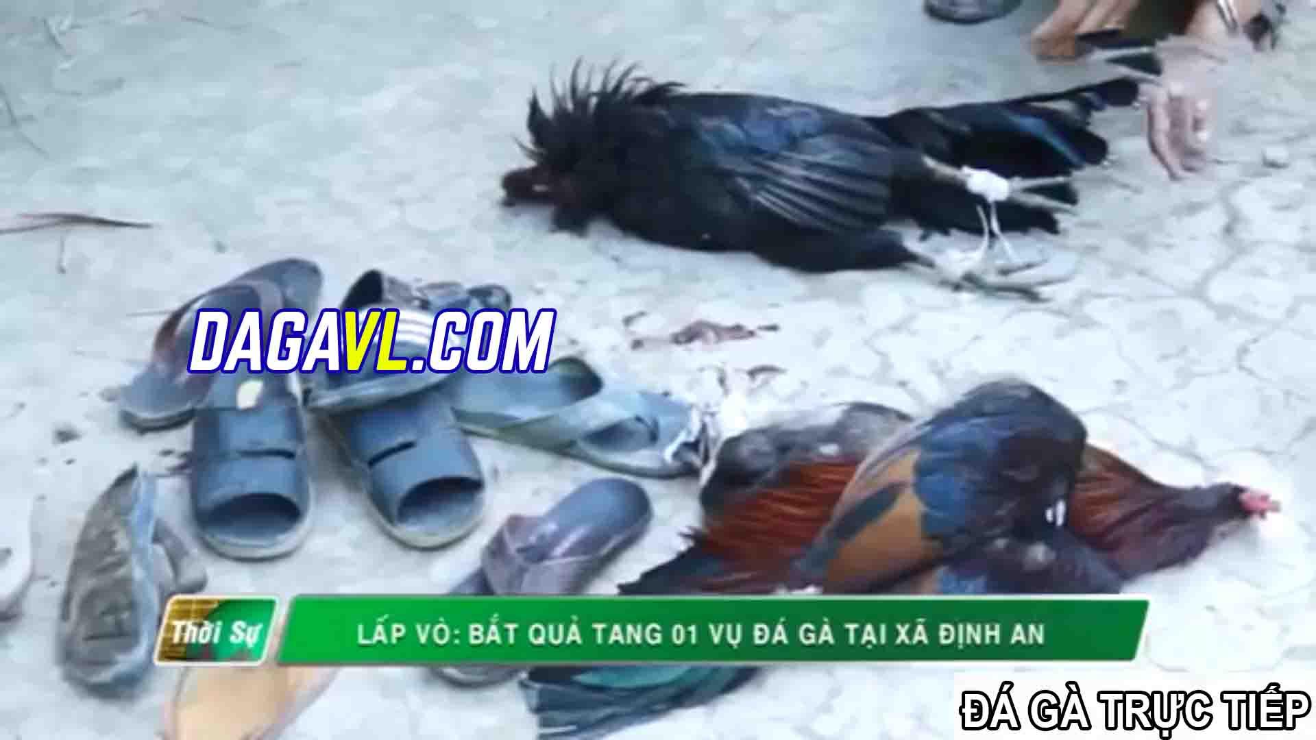 DAGAVL.COM - đá gà trực tiếp. Tang vật bắt 40 đối tượng đá gà ăn tiền tại Gò Công Đông