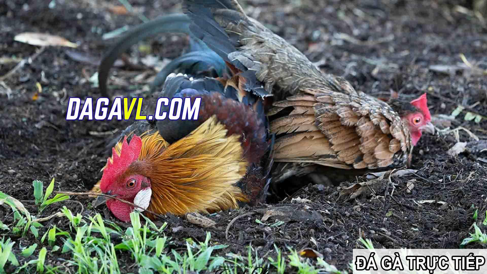 DAGAVL.COM - Cách huấn luyện gà đá khỏe mạnh