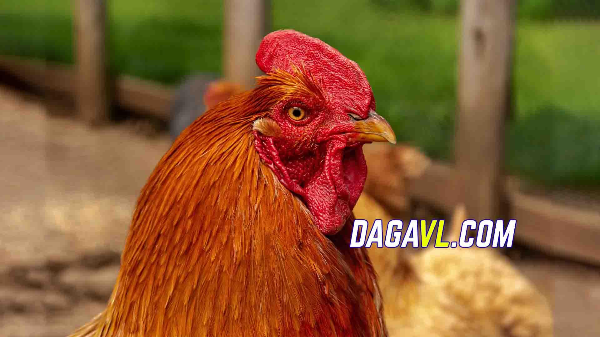 DAGAVL.COM - Chơi đá gà ngay trên bàn bi da