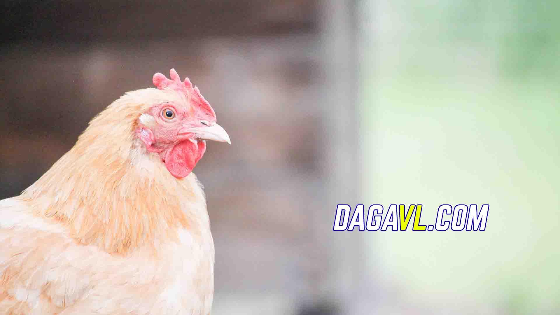 DAGAVL.COM - Mô hình nuôi gà đá phổ biến