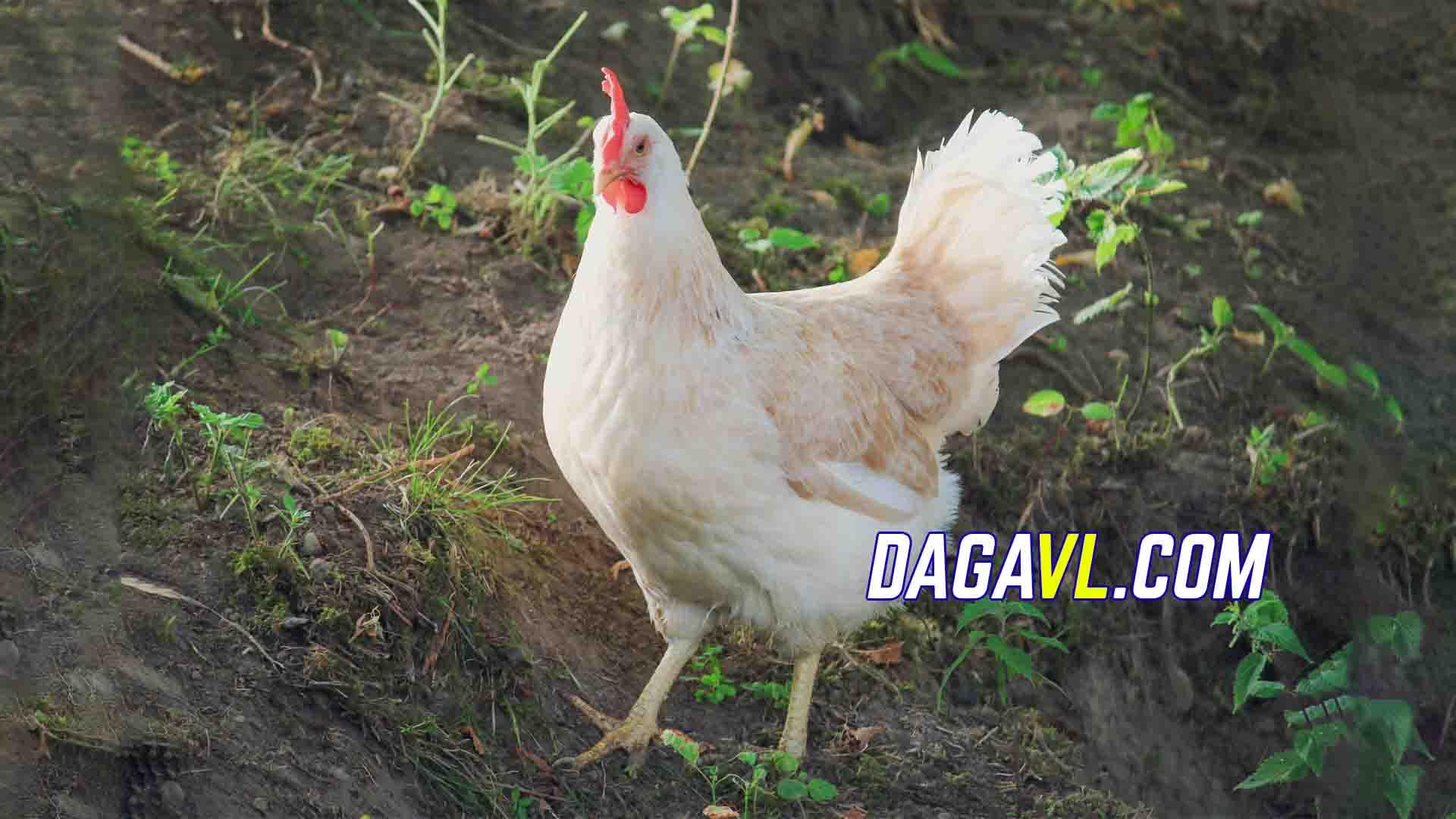 DAGAVL.COM - Những chú ý khi nuôi gà đá mái đẻ trứng