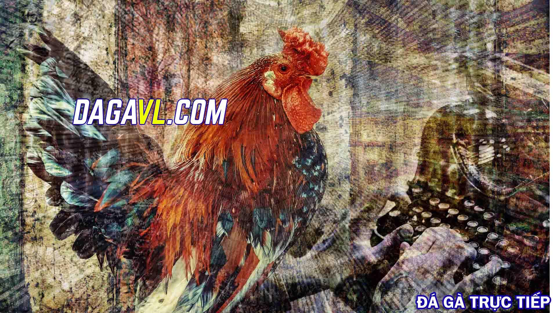 DAGAVL.COM - Nuôi gà đá bán giá trị kinh tế cao