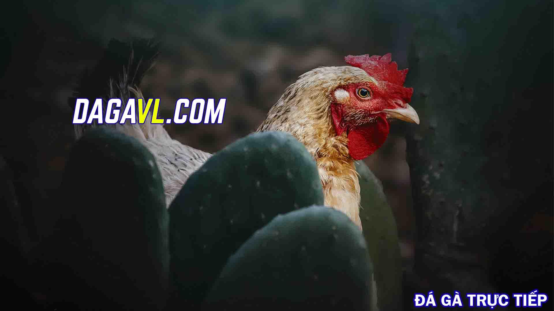 DAGAVL.COM - Thu nhập từ nuôi gà đá thả vườn